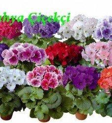 Saksı Onbiray Primula