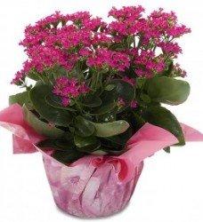 Saksıda Kalanso Çiçeği