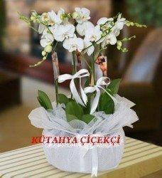 Saksıda Orkide Mix