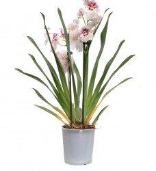 Anaç Orkide Spatyum
