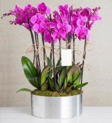 Çok Dallı Saksı Orkide